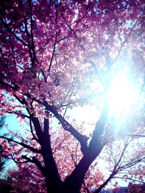 サクラ咲きました!